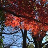 名残のカエデ Momiji (eyawlk60) Tags: momiji kayede maple leaves lateautumn winter モミジ もみじ 晩秋 冬 青空