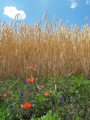 P7021903 (Rarainah) Tags: wheat wheatfields fields clouds poppy poppys colorful nature summer