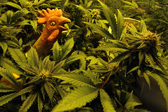 How to Roll a Joint with a Chicken (professional recreationalist) Tags: brucedean professionalrecreationalist victoriabc marijuana cannabis canada legalize roll rolling joint joints chicken poultry rubber rubberchicken
