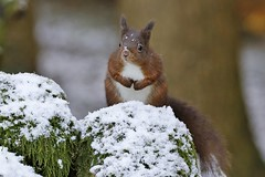Red Squirrel (Sciurus vulgaris) (Fly~catcher) Tags: sciurus vulgaris red squirrel snow stone wall tree yorkshire coth coth5