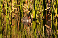 Grass Reflections (_quintin_) Tags: duck coyotehills fremont california reflection
