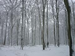 Gipfel-Buchenwald (Jörg Paul Kaspari) Tags: erbeskopf gipfel gipfelplataeu winter schneewanderung schnee skulpturenweg snow gipfelpfad buche buchenwald wald forest fagussylvatica naturparksaarhunsrück nationalpark saarhunsrücksteig