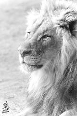 Majestic (Aditya Falodiya) Tags: majestic lion san diego california black white gray aditya falodiya adityafalodiyaphotography