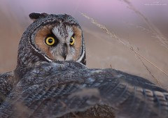 Long-eared Owl (www.jessfindlay.com) Tags: longearedowl asiootus jessfindlay jessfindlayphotography wwwjessfindlaycom winterbirdsofvancouver owl raptor birdofprey birding birdwatching bird birdphotography birdsofbc birdsofcanada