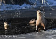 Klamath River Otters (larryvenus) Tags: otter riverotters lowerklamathwildliferefuge lowerklamathwildliferefugeotters klamathotters nikon nikond500 nikonphotography tamron tamronphotography tamron150600mmlens riverottersandice riverottersduringwinter