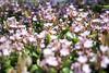 L1018501c (haru__q) Tags: leica m8 leicam8 minolta rokkor flower 花
