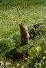 Marmotta. Marmot. (omar.flumignan) Tags: marmotta marmot montasio altipiano plateau canon7d ef100400f4556lisusm animale animal fauna friuliveneziagiulia fvg
