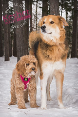 """Picture of the Day (Keshet Kennels & Rescue) Tags: rescue kennel kennels adoption """"dog adoption"""" ottawa ontario canada keshet large breed dogs animal animals pet pets """"blood bank"""" interactive game video field tree forest wood park dog cold"""