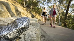 Metal lizard figure placed along Three Sisters Footpath overlooking some blurred out recreational walkers (Victor Wong (sfe-co2)) Tags: art australia blue bush cliff echopoint environment famous figure figurine forest green high katoomba landscape lizard metal mountains national natural nature new nsw outdoors park path people range rock rocky scenery scenic south stone summer sydney threesistersfootpath tourism track travel tree view wales walking wilderness wildlife