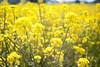 L1018296c (haru__q) Tags: leica m8 leicam8 minolta rokkor rape blossoms 菜の花 黄色 yellow flower 花