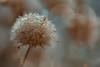 Dandelion (Zara Calista) Tags: dandelion water droplets rain nikon d750 tamron 180mm light bokeh teal brown