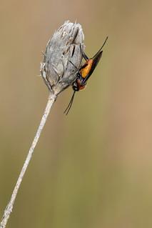 Braconinae sp.