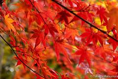 Momiji (takashi_matsumura) Tags: kyōtoshi kyōtofu japan kyoto nikon d5300 arashiyama sigma 1750mm f28 ex dc os hsm autumn leaf ngc