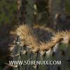 Opuntia engelmannii var. linguiformis (SUBENUIX) Tags: cactaceaeopuntias opuntiaengelmannii suculentas subenuix subenuixcom planta suculent suculenta botanic botanical