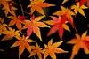 紅葉 Autumn leaves (takapata) Tags: sony sel90m28g ilce7m2 macro autmn leaves nature
