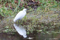 Little Egret (Egretta garzetta) (jhureley1977) Tags: birds birding hemelhempstead hemelbirding birdsofbritain britishbirds ashjhureley avibase naturesvoice bbcspringwatch rspbbirders boxmoortrust boxmoor ashutoshjhureley littleegret egrettagarzetta