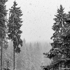 Snowy Treefold (frank_w_aus_l) Tags: natur nature nikon d810 2470 nikkor schnee detail monochrome sw bw blackandwhite cold harz tanne frost ice snow layers badgrundharz niedersachsen deutschland de