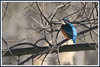 Martin-pêcheur 171223-01-P (paul.vetter) Tags: oiseau ornithologie ornithology faune animal bird martinpêcheur alcedoatthis eisvogel kingfisher