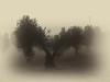 Tarde de niebla (alvarolumix) Tags: gx7 niebla olivo bn bw