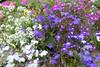 mixture (margaretpaul) Tags: garden homegarden flowers blossoms alyssum lobielia