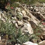 Arizona thistle, Cirsium arizonicum var. arizonicum thumbnail