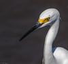 Snowy Egret (Egretta thula) (NigelJE) Tags: snowyegret egret egretta egrettathula ardeidae nigelje playalinda zihuatanejo guerrero mexico