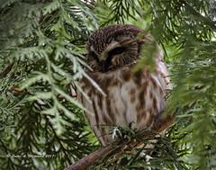 123117 Saw Whet in Cedar (wildcatlou) Tags: nisquallynationalwildliferefuge nature wildlife bird raptor winter owl sawwhetowl tree cedar thuja