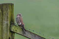 R17_7237 (ronald groenendijk) Tags: cronaldgroenendijk 2017 falcotinnunculus rgflickrrg animal bird birds birdsofprey groenendijk holland kestrel nature natuur natuurfotografie netherlands outdoor ronaldgroenendijk roofvogels torenvalk vogel vogels wildlife