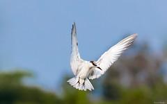 F R E E D O M (kumherath) Tags: kumariherathphotography canon5dmark3 sigma150600sports bluesky bird