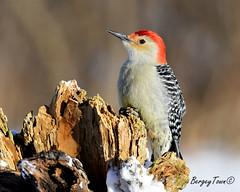 Male Red Bellied Woodpecker (Underock) Tags: redbelliedwoodpecker woodpecker bird nikon stump d500 winter cold red perch wood wild winterbirding