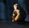 ONLY LOVE (babsbaron) Tags: nature tiere animals zoo tierpark hamburg hagenbeck affen primaten apes monkeys primates pavian mantelpavian baboon