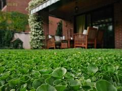 Desde lo más bajo (rosslera) Tags: favorito rincón paz tranquilidad comodidad sentada hierba españa locura tradición japón dichondrarepens verde descanso verano relax lectura jardín