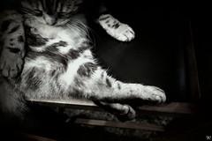 whiskey 的芭蕾姿態 (waz C.) Tags: whiskey cat blackwhite black white