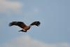 DSC_6606 (Kjell Arild Dokka) Tags: rovfugler svartglente milvus migrans iran bandarabbas kostargah
