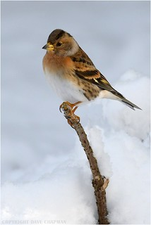 Male Brambling in the snow