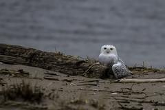 Snowy owl - Staten Island, New York (superpugger) Tags: birds birding owl owls snowyowls snowyowl irruption migration wildlife wildlifephotography statenislandwildlife newyorkcitynature