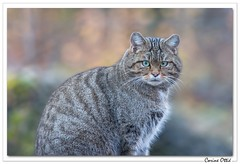 Deux yeux ! (C. OTTIE et J-Y KERMORVANT) Tags: animaux nature mammifères chats chatforestier felissilvestris parcanimalier suisse