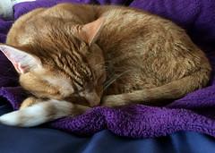 Koshki (zamburak) Tags: koshki yellow orange tabby cat 365the2017edition 3652017 day343365 9dec17