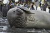 Elephant Seal. (richard.mcmanus.) Tags: elephantseal goldharbour southgeorgia antarctica subantarcticislands mammal seal mcmanus pinniped