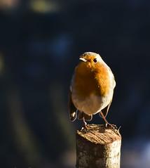 """Se promener de grand matin, pour qui aime la solitude, équivaut à se promener la nuit, avec la gaieté de la nature de plus. Les rues sont désertes, et les oiseaux chantent """" Victor Hugo"""" (Doriane Boilly Photographie Nature) Tags: nature hiver jardin couleur lumière robin bird"""