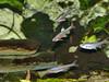 Regenbogenelritze-(Notropis chrosomus) (#Regenbogenelritzen & #Springbarsche) Tags: regenbogenelritze notropis chrosomus