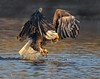 Impressive, but comin up empty (Beth Sargent) Tags: baldeagle birdofprey raptor bird hunter lake nature wildlife droh dailyrayofhope