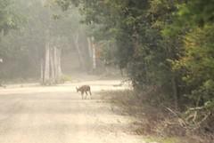On The Access Road To Balamku Mayan Ruins (elhawk) Tags: mexico campeche maya balamku whitetaileddeer