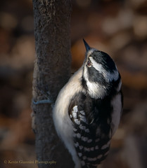 Downy Woodpecker (Kevin James54) Tags: nikond850 peacevalleypark tamron150600mm animals avian bird downywoodpecker kevingianniniphotocom picoidespubescens woodpecker