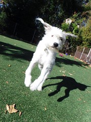 """FUNNY """"LAMB""""SHADOW"""" OF OUR GRANDDOG DIVOT (teddybarb) Tags: perro chien hund cane hound dogs"""