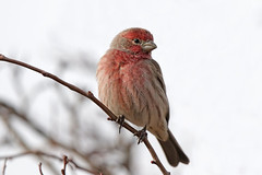 House Finch (Alan Gutsell) Tags: birds birding alan nature wildlife wildlifephoto photo newmexico house finch housefinch migration