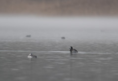 Scaup and sleepy Red Throated Diver at Brogborough 22-12-2017-0342 (seandarcy2) Tags: scaup diver brogborough beds uk redthroated lake mist