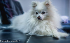 I look at you ..Happy new Year (frederic.gombert) Tags: color white animal dog light black pet pomeranian spitz indoor home sony winter year