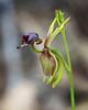 caleana major (Kezfoto) Tags: caleanamajor nativeorchid flyingduck tasmania