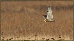 Short-eared Owl (Sandy Paiement) Tags: shortearedowl asioflammeus